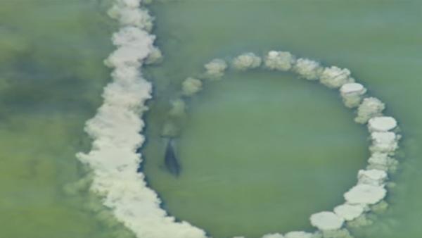 Delfinerna slår stjärtfenan mot havsbottnen för att göra sandcirklar i vattnet - anledningen är genial